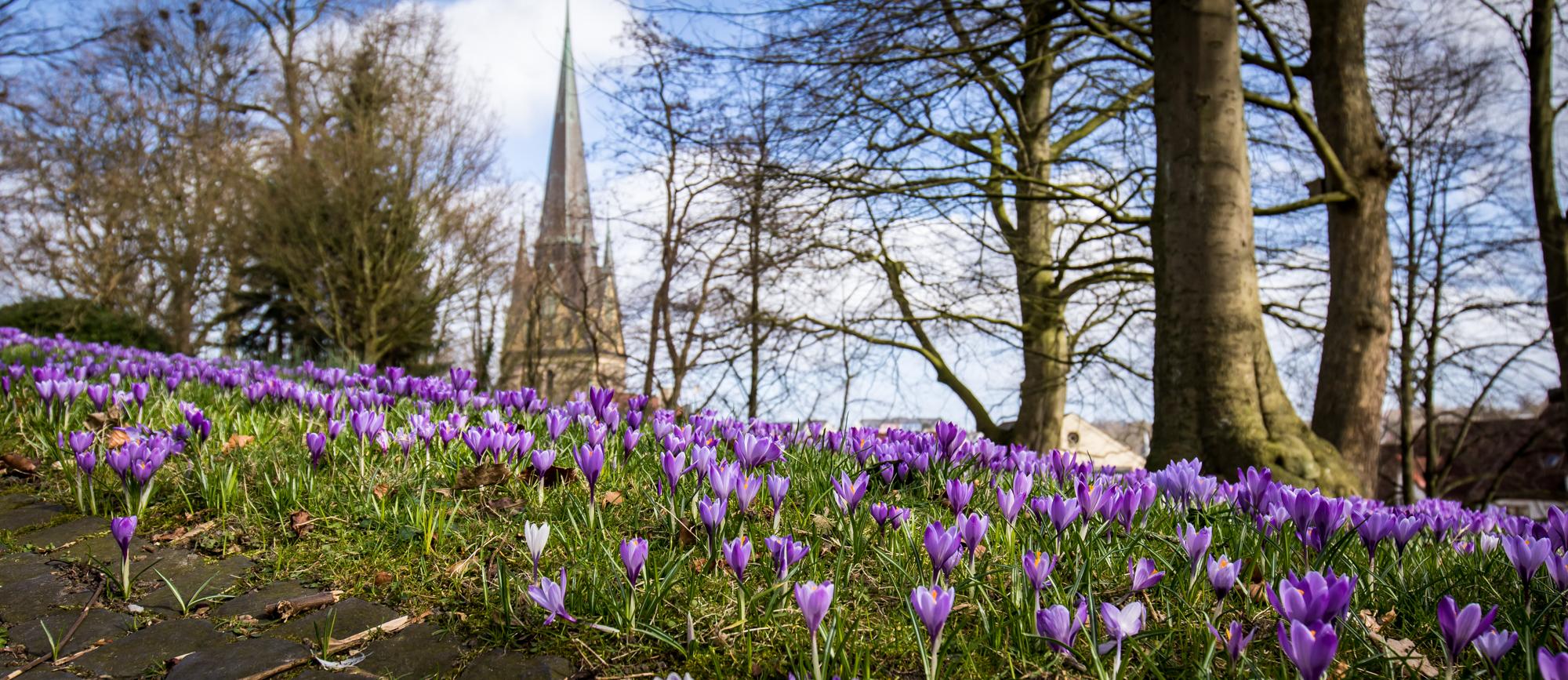 Flensburg Frühling Krokusblüte